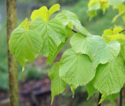 Hortical tilleul grandes feuilles tilia platyphyllos linde bladige groot of linde - Tilleul a grandes feuilles ...
