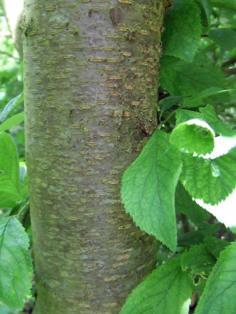 Hortical : merisier à grappes - Prunus padus - kers (vogel-)