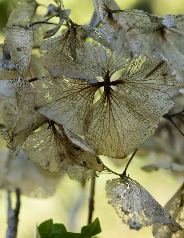 hortical hortensia hydrangea macrophylla hortensia. Black Bedroom Furniture Sets. Home Design Ideas