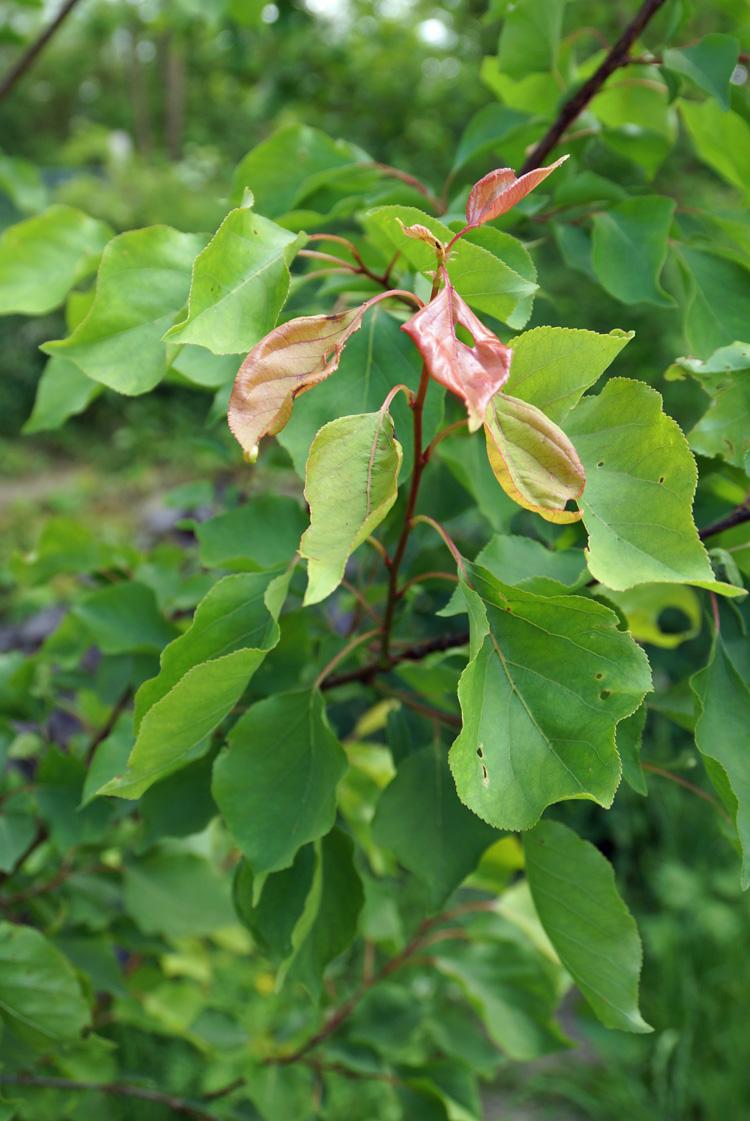 Hortical   Abricotier - Prunus Armeniaca
