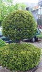 if (Taxus baccata)